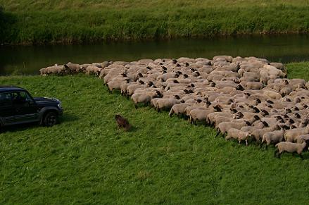 Schafe werden mit dem Auto getrieben