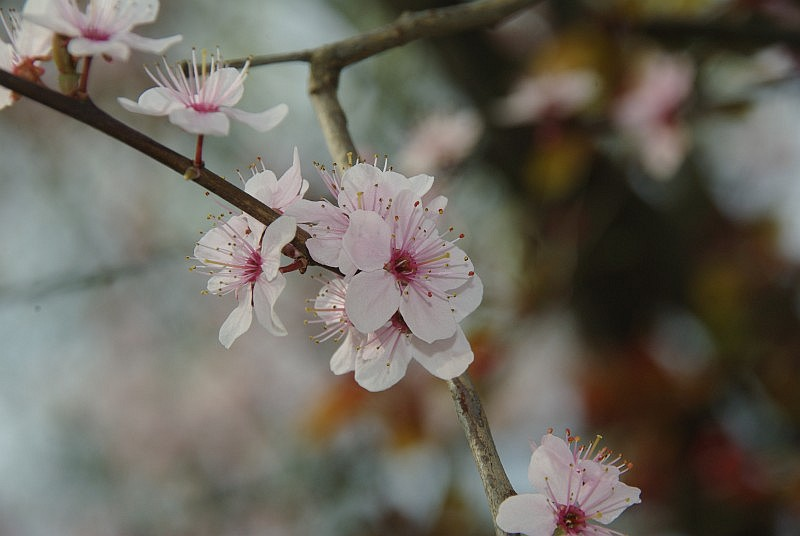 baum rosa bl ten prunus cerasifera 39 nigra. Black Bedroom Furniture Sets. Home Design Ideas