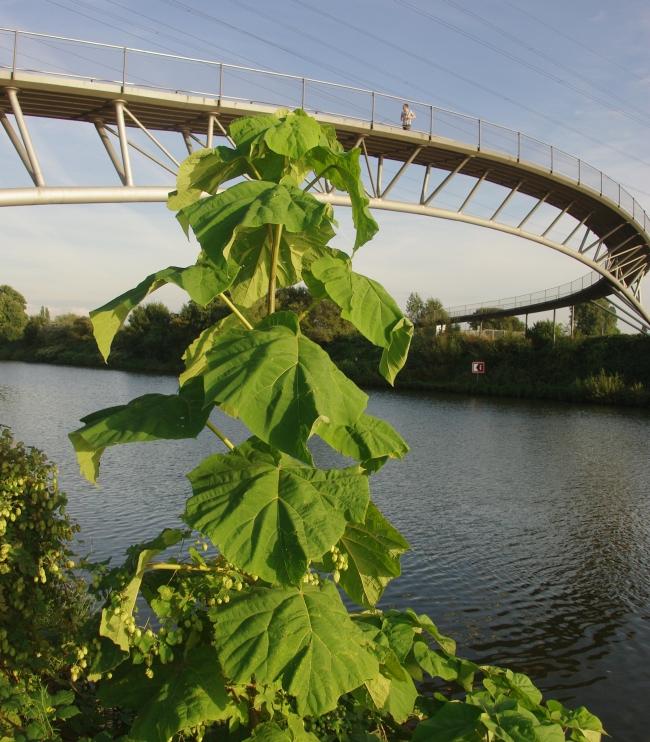 Pflanze Mit Großen Blättern baum mit sehr großen blättern paulownia tomentosa pflanzenbestimmung
