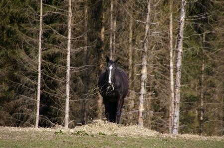 Pferd (schwarz)