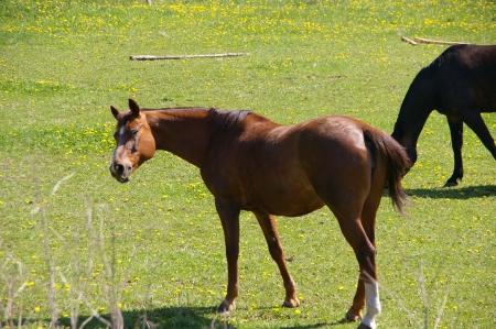 Pferd (braun)