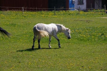 Pferd (weiß)