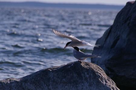 Küstenseeschwalbe