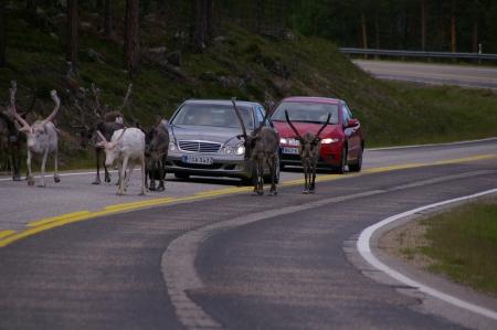 Rentiere blockieren die Straße