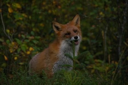 Ein Fuchs zu Besuch