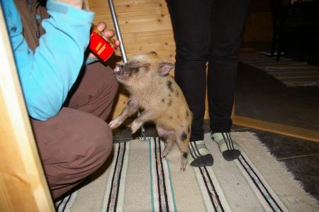 Camping mit Schwein