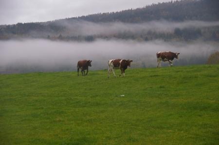 Kühe im Morgennebel