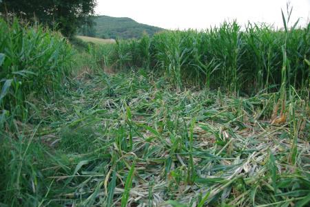 Wildschweine haben hier im Maisfeld den Mais gefressen
