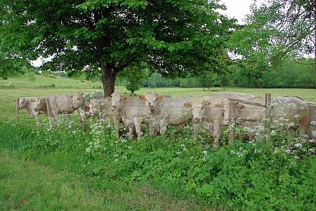 Acht Kühe