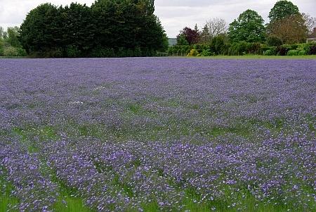 Blütenfeld